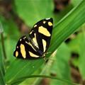 Photos: 蝶のような蛾、キンモンガ。