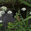 イナゴの花見(ホワイトレースフラワー)4