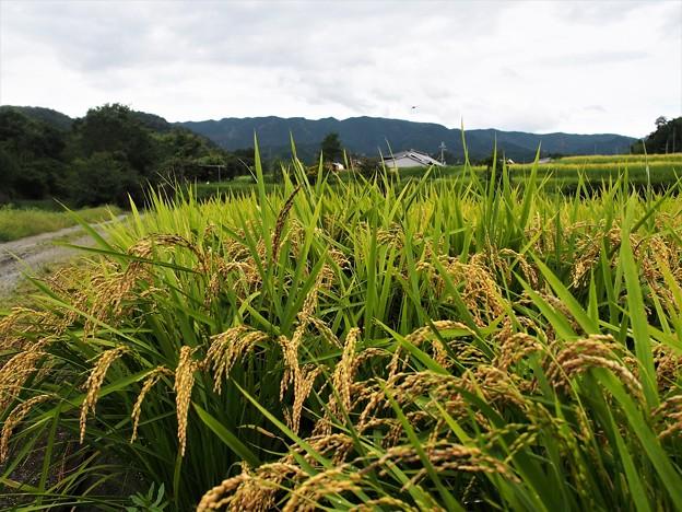 Photos: 豊穣の田