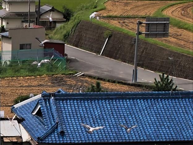 Photos: 野鳩が七羽
