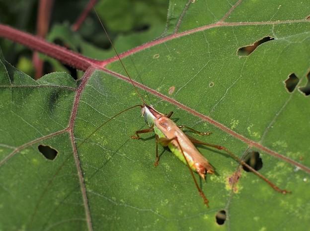 秋の虫、ヤブキリ