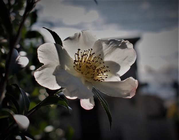 純白の山茶花