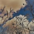 Photos: ススキと柿と秋の空