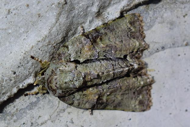 キノカワガ_18107b