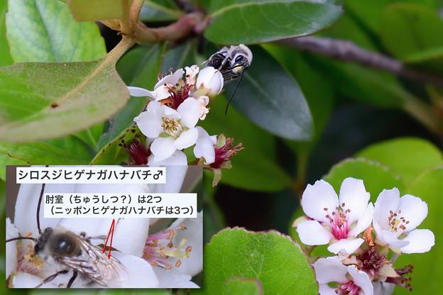 シロスジヒゲナガハナバチ_18507a