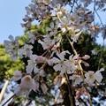 Photos: 2020.03.19_桜_浦和「玉蔵院」