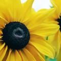 写真: 黄色い花2