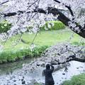 写真: 桜を撮る人