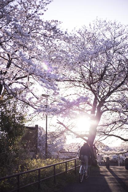 写真: 桜道