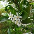写真: みかんの花P1060398