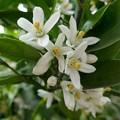 写真: みかんの花P1060399