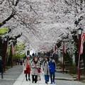 中山法華経寺の桜P1120635