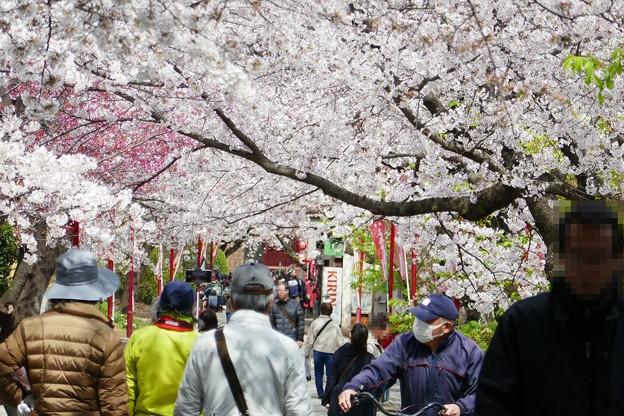 中山法華経寺の桜P1120642