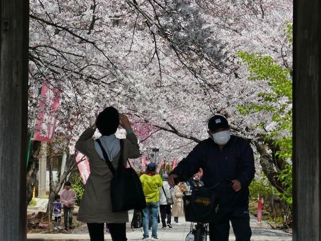 中山法華経寺の桜P1120643