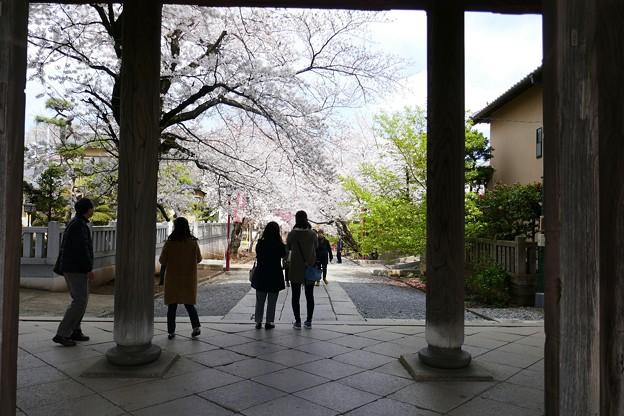 中山法華経寺の桜P1120645