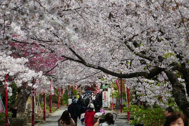 中山法華経寺の桜P1120646
