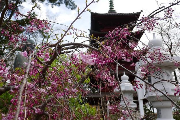 中山法華経寺の桜P1120660