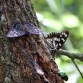 写真: クヌギ林の蝶たち