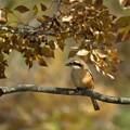 Photos: 百舌鳥