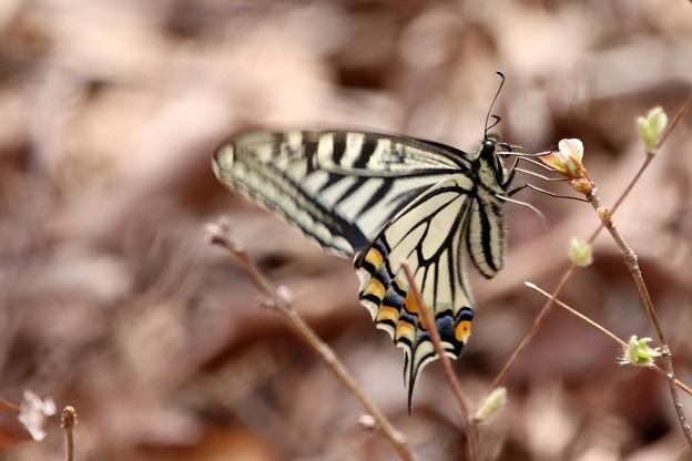 三月のアゲハチョウ