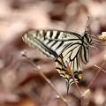 Photos: 三月のアゲハチョウ
