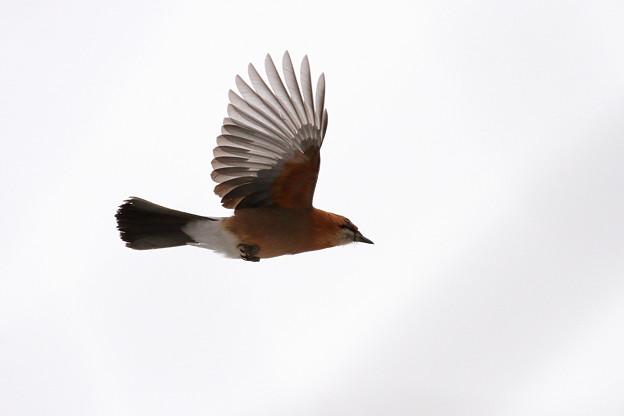 写真: ミヤマカケス 飛ぶ