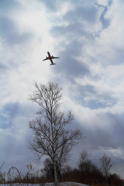 A320 Jetstarと一本の白樺