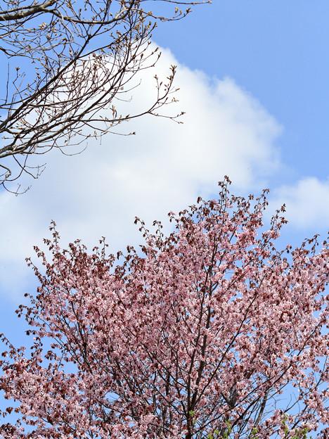 サクラ咲く (3)