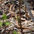 写真: カナヘビ ひなたぼっこ