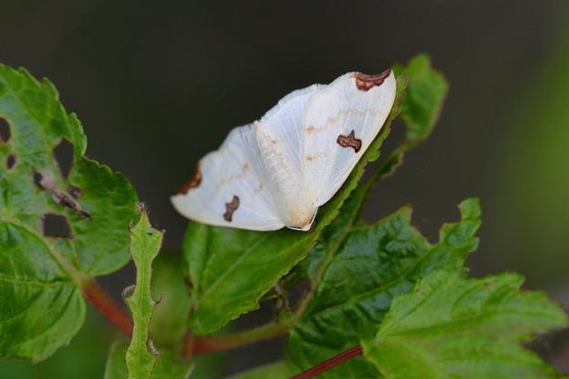 写真: 蛾 名まえはミミモンエダシャク