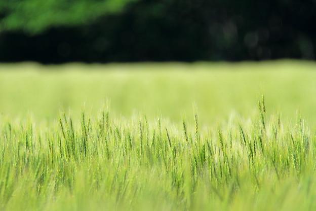 写真: 青麦