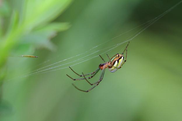 シロカネグモ