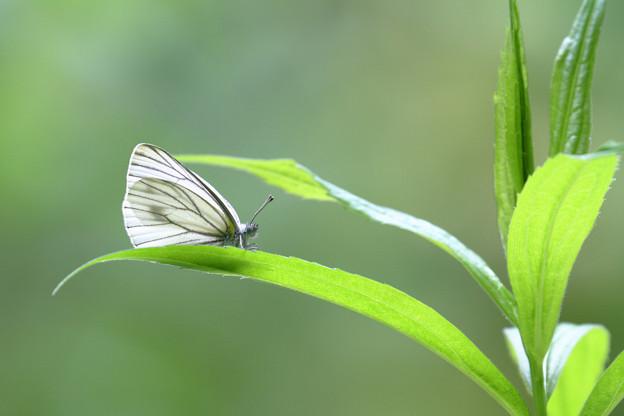 写真: スジグロシロチョウ ひと休み