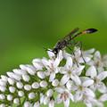 オカトラノオにジガバチ