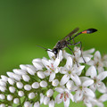 写真: オカトラノオにジガバチ