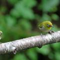 写真: メジロが2羽