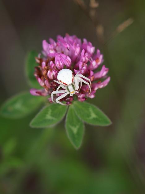 白いクモ ヒメハナグモ (1)