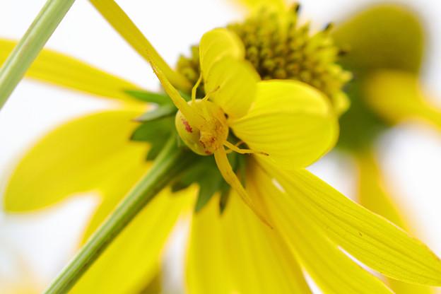 黄色いオオハンゴウンソウには黄色いハナグモ