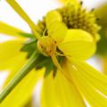 写真: 黄色いオオハンゴウンソウには黄色いハナグモ