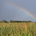 写真: とうきび畑に虹