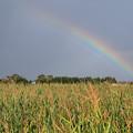 とうきび畑に虹
