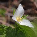 オオバナノエンレイソウ 咲く