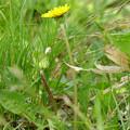 エゾたんぽぽ 咲き