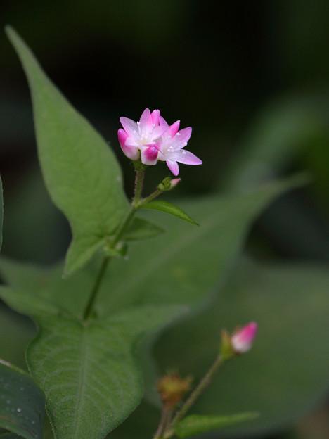 ミゾソバの花咲く