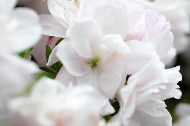 さつき咲く(2)