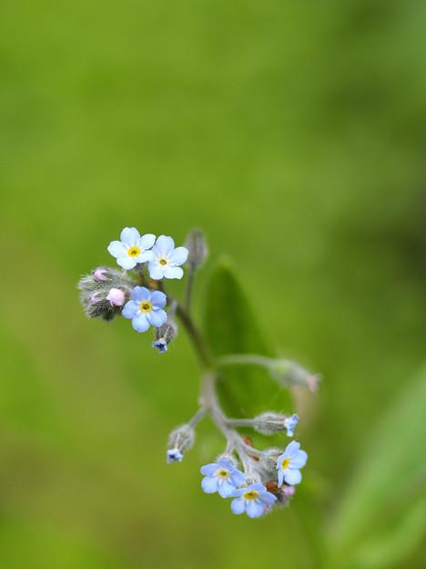 ノハラムラサキの花