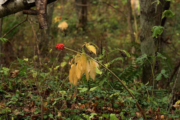 深まる秋のマムシグサ