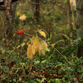 Photos: 深まる秋のマムシグサ