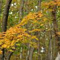 深まる秋のカエデ