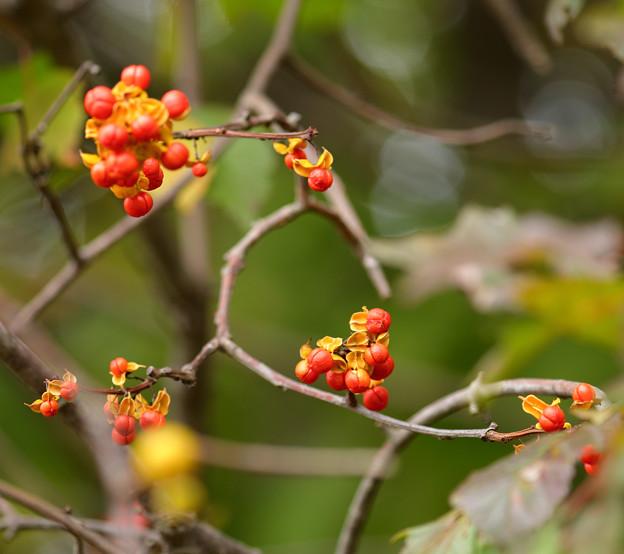 深まる秋のツルウメモドキ